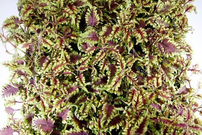 Coleus  Under The Sea Bonefish
